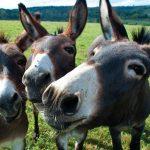 Un affare di famiglia e affettivo: un allevamento di asini a Aullena