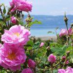 """Un'eccellenza corsa: la Rosa di Damasco o """"Rosa dei Profumieri"""""""
