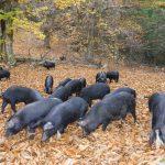 Domani a Vizzavona la Prima festa di u Porcu Nustrale e di a Salameria Corsa