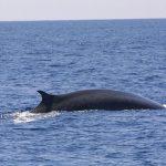 Carcassa di balena arenata a San Fiorenzo: un'ordinanza comunale vieta l'avvicinamento
